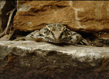 Leopard frog in rock crevice